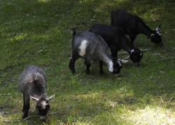 Miniature Pygmy Goat Adoption